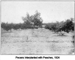 Pecans interplanted with peaches, 1924.