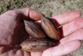 'Faircloth' nuts, note the prominent end, similar to 'Van Deman',  this increases the difficulty of shelling the nuts.