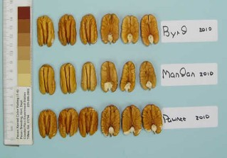 Comparison of the nut crop of the early cultivars 'Byrd', 'Mandan', and 'Pawnee' in 2010.