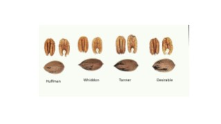 Figure 1.  Nut and kernel comparison of 'Huffman', Whiddon', 'Tanner', and 'Desirable'.